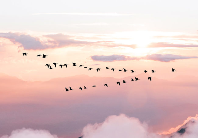 flock of birds flying in V formation